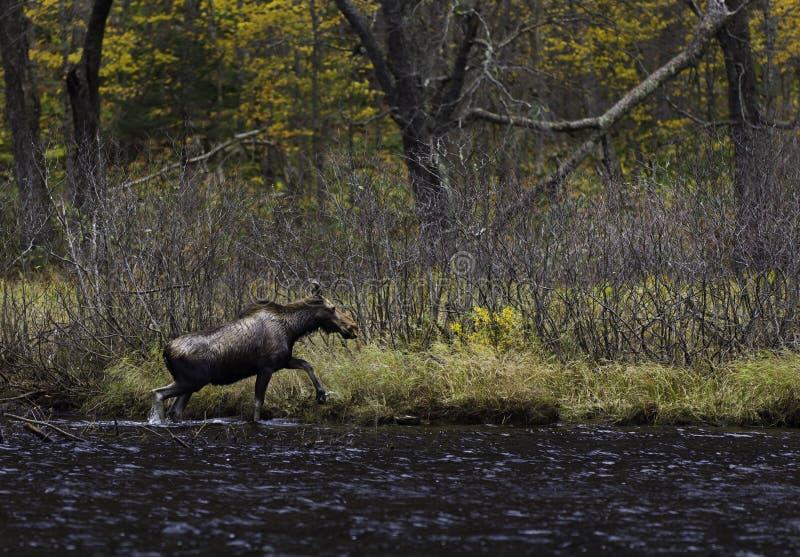 Female moose royalty free stock photos