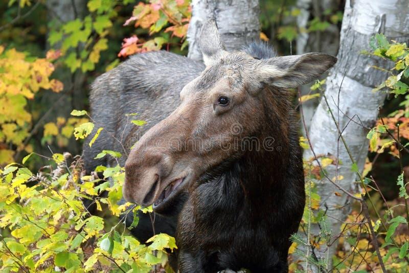 Download Female Moose stock photo. Image of tree, making, autumn - 17192182
