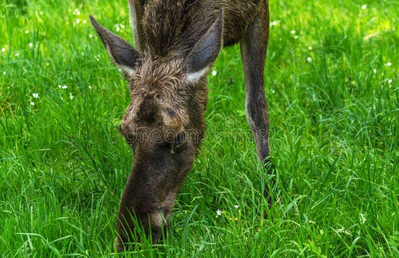 Female moose close-up grazing royalty free stock photo