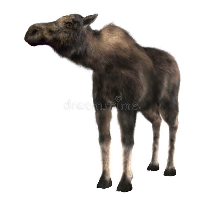 Female Moose royalty free stock photography