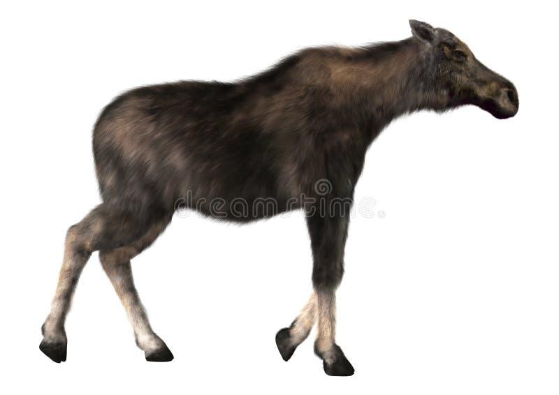 Female Moose royalty free stock photo