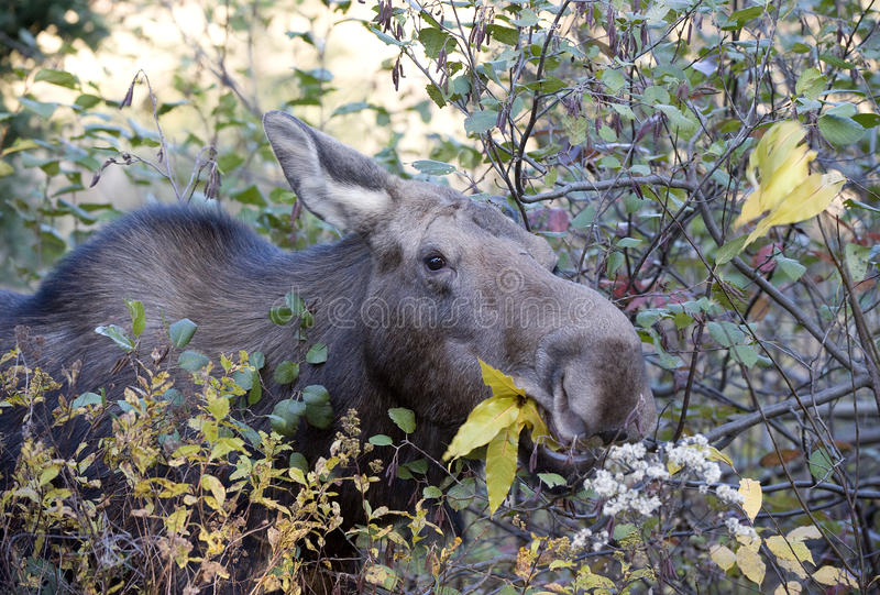 Female moose eating. Leaves in algonquin park stock image