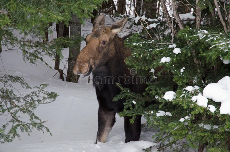Female moose (2). Female moose emerging from the forest in Parc de la Gaspesie (Quebec, Canada) in March 2015 royalty free stock photos