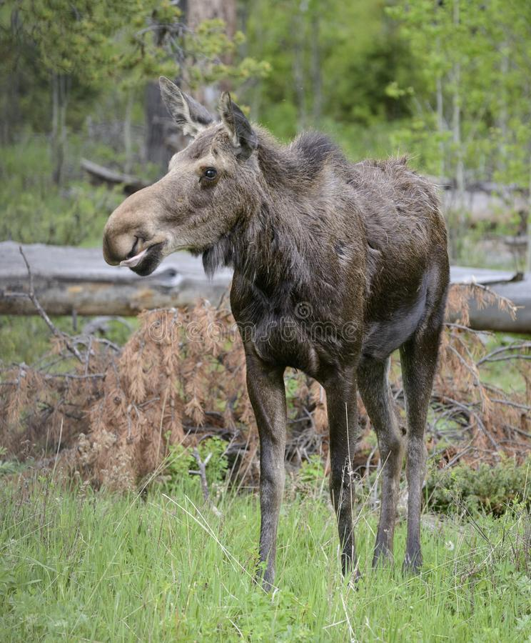 Female Moose. A female moose standing on green grass in the Yellowstone National Park stock photo
