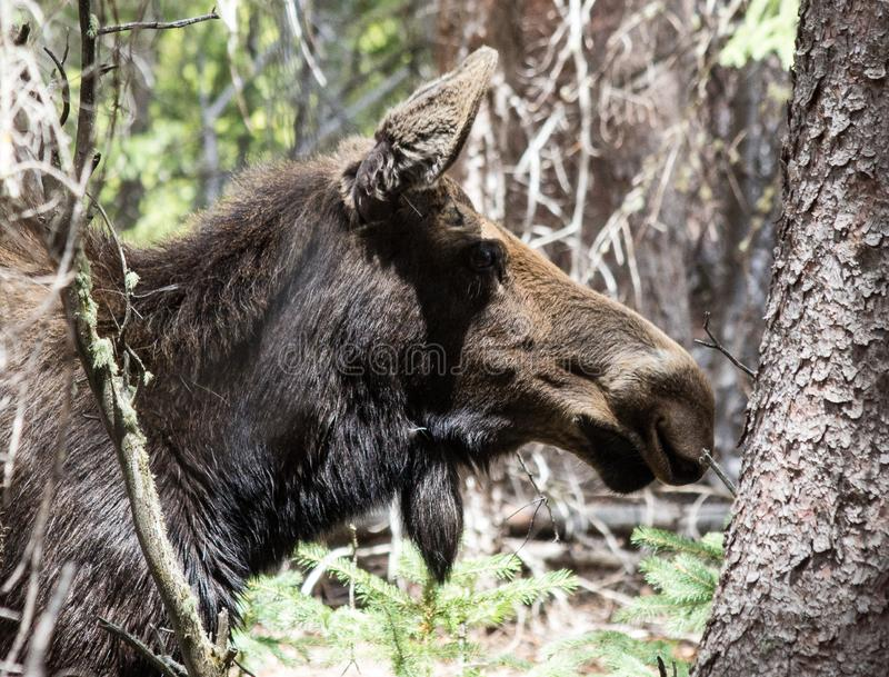 Female Moose in the Trees in Rocky Mountain National Park. This is a female moose walking through the trees in Rocky Mountain National Park, Colorado, near Estes royalty free stock photography