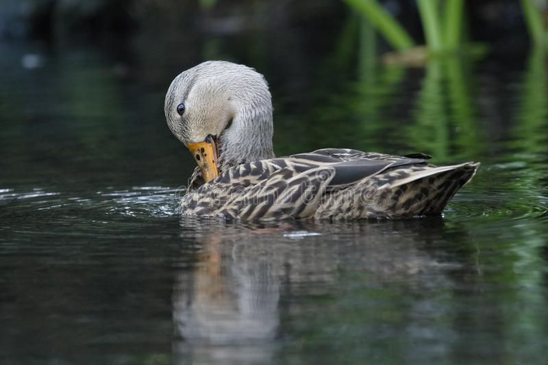 Female Mottled Duck preening her feathers on a Florida river. Female Mottled Duck Anas fulvigula preening her feathers on a Florida river stock photo