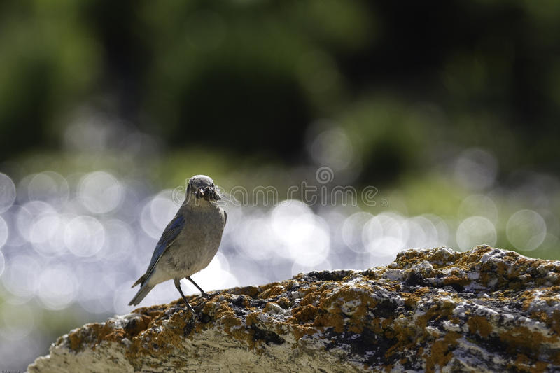 A female mountain bluebird (Sialia currucoides ) with an insect royalty free stock photo