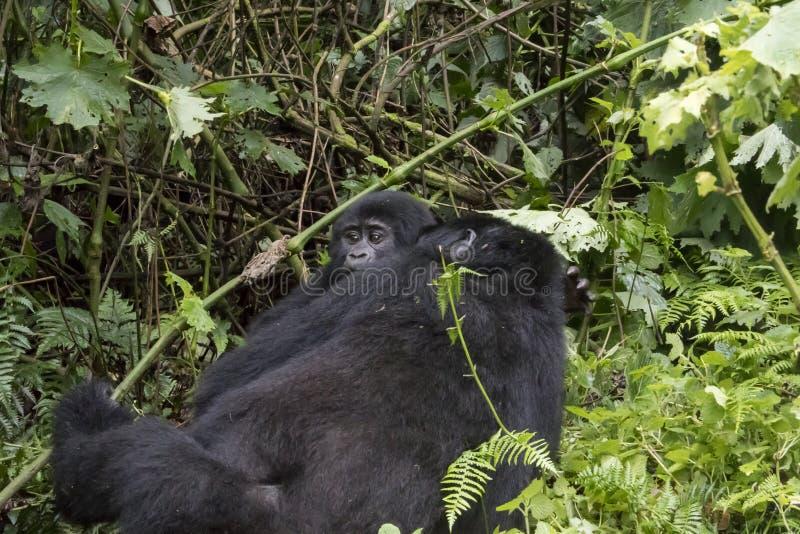 Female mountain gorilla with baby, Bwindi Impenetrable Forest Na stock photos