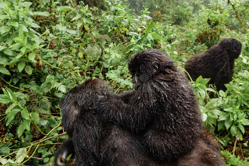 A female mountain gorilla with a baby on top royalty free stock photo