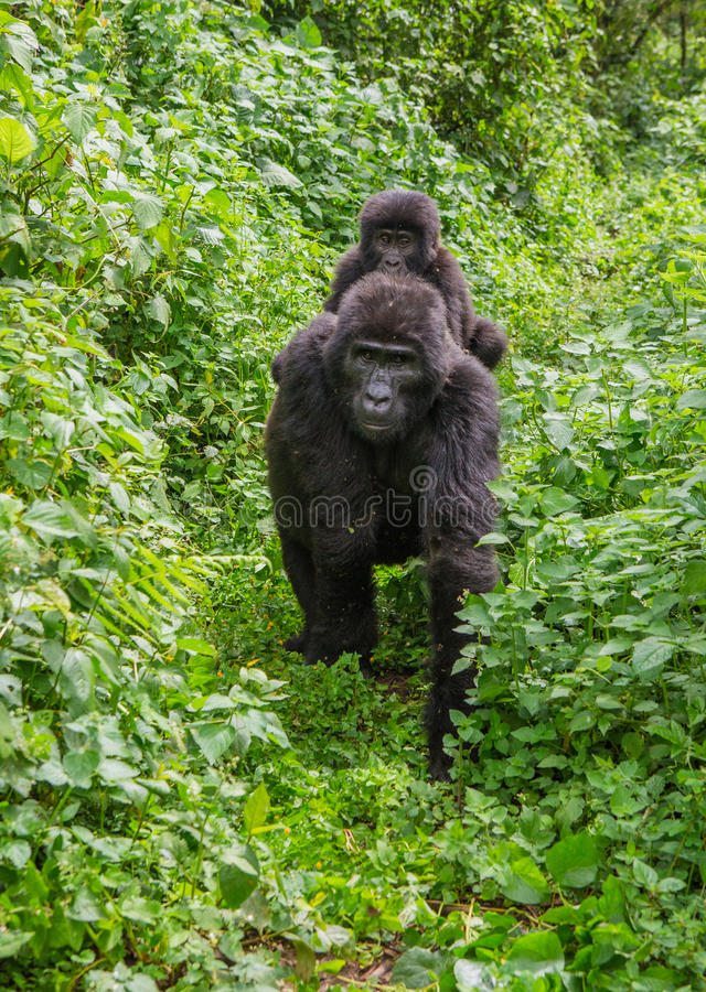 A female mountain gorilla with a baby. Uganda. Bwindi Impenetrable Forest National Park. royalty free stock photos