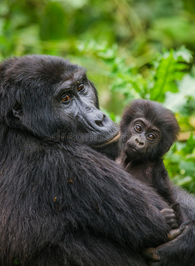 A female mountain gorilla with a baby. Uganda. Bwindi Impenetrable Forest National Park. royalty free stock image