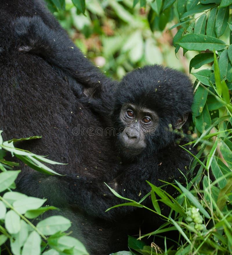 A female mountain gorilla with a baby. Uganda. Bwindi Impenetrable Forest National Park. stock photo