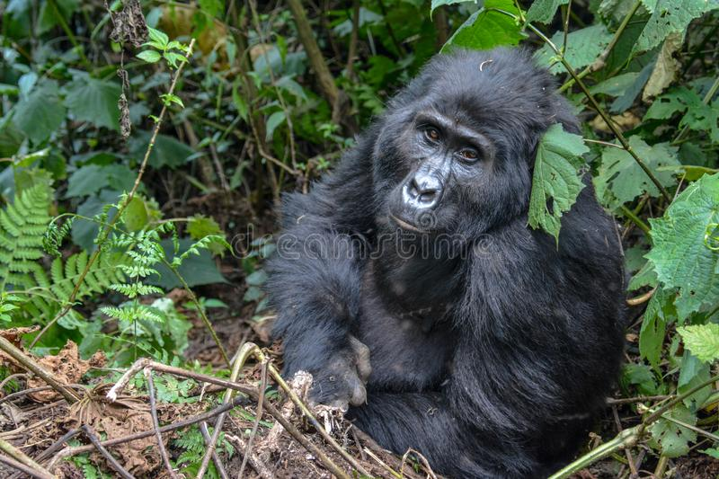 Female mountain gorilla with expressive face. Female mountain gorilla with a submissive expression sitting just off the trekking trail in Bwindi Impenetrable royalty free stock photo