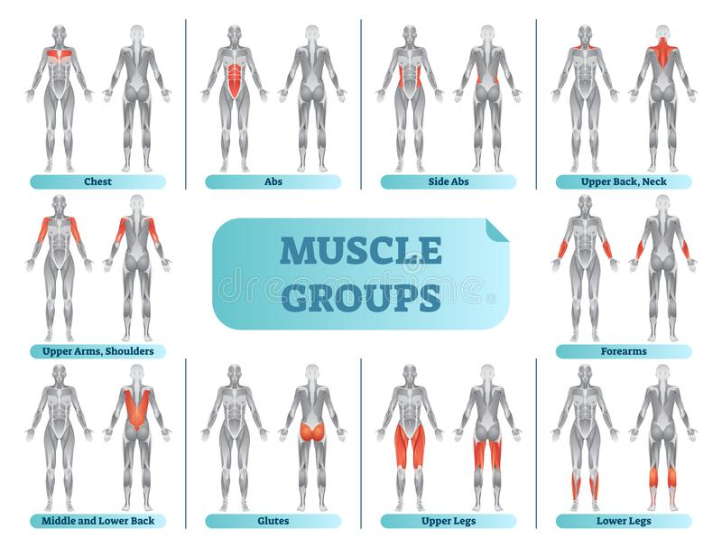 Female muscle groups anatomical fitness vector illustration, sports training informative poster. vector illustration