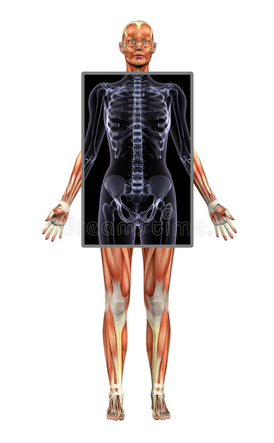Female Muscle Structure with X-ray vector illustration
