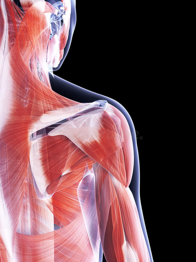 The Female Muscle System Stock Photography