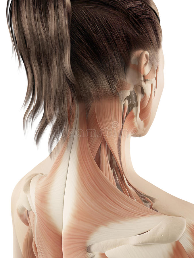 Free Female Muscles Of The Neck Royalty Free Stock Image - 34777506