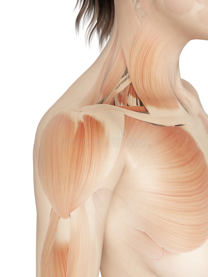 Female - muscles of the shoulder royalty free illustration