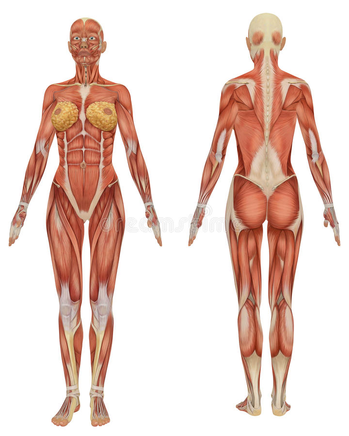 Female Muscular Anatomy Front and Rear View vector illustration