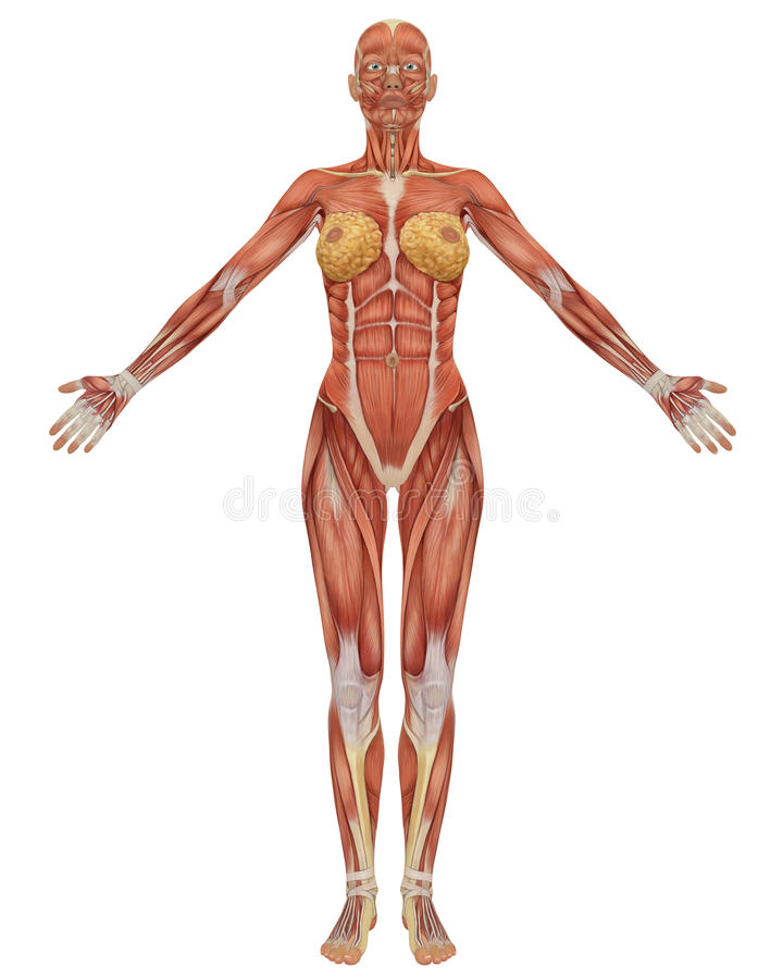 Female muscular anatomy front view royalty free illustration