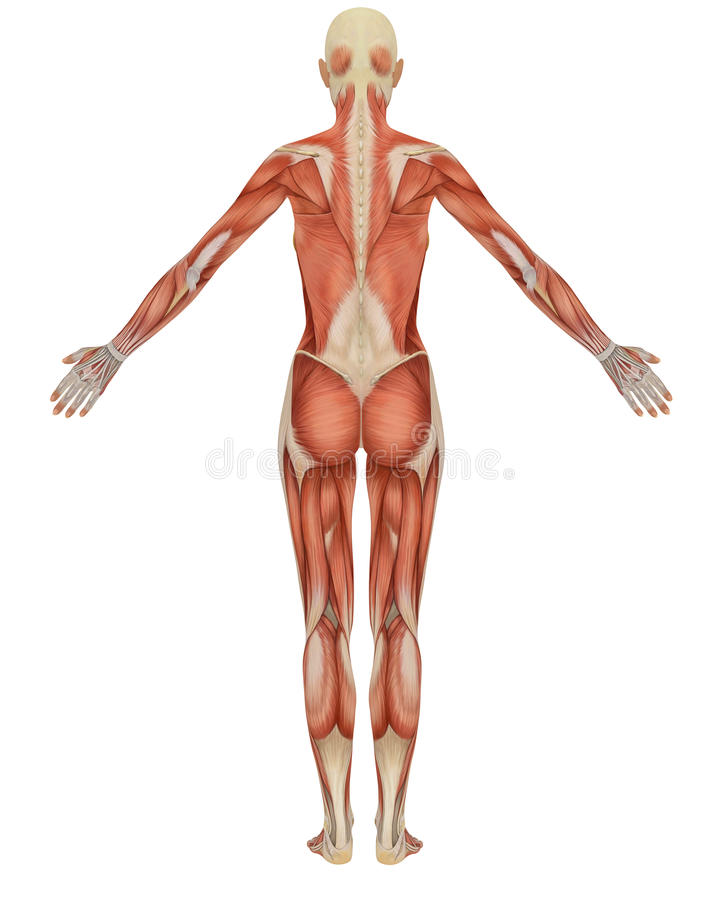 Female muscular anatomy rear view stock illustration
