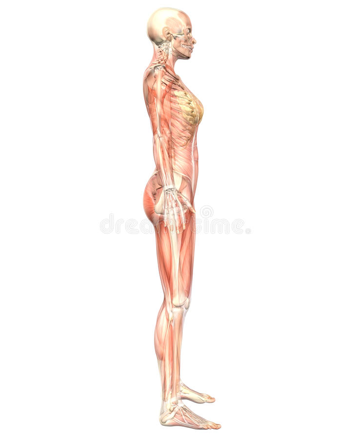 Female Muscular Anatomy Semi Transparent Side View royalty free illustration