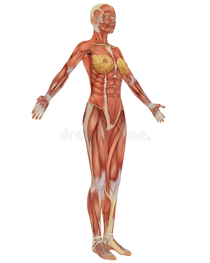 Female muscular anatomy side view vector illustration