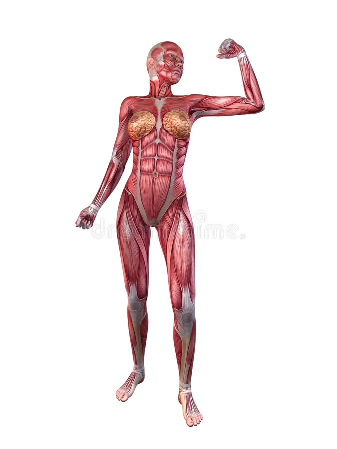 Female Muscular System Royalty Free Stock Images