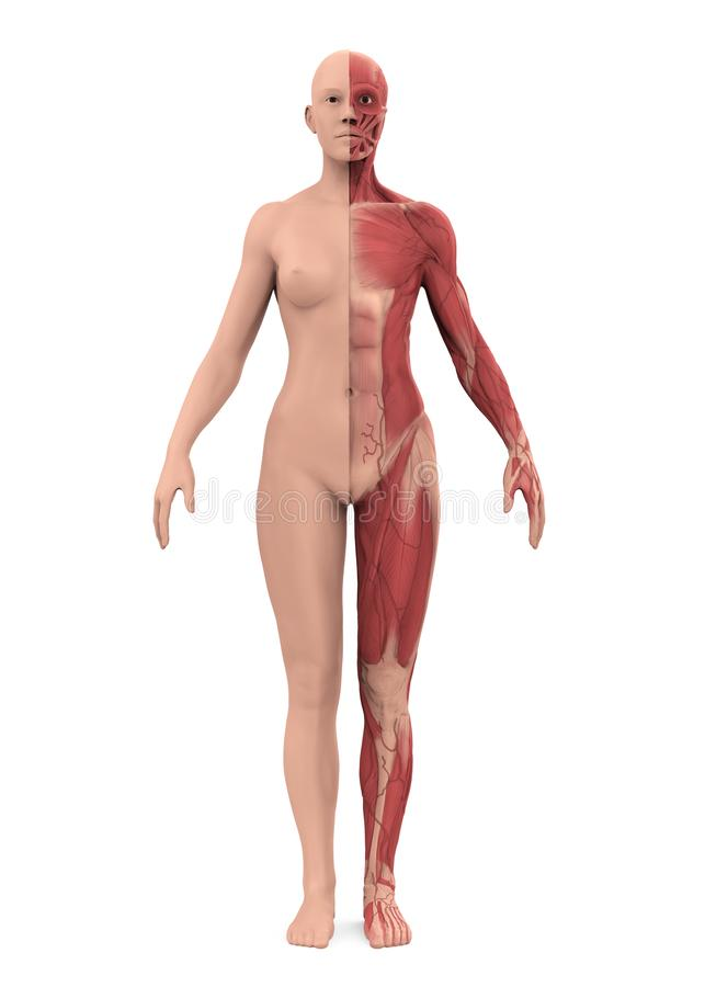Female Muscular System Isolated royalty free illustration