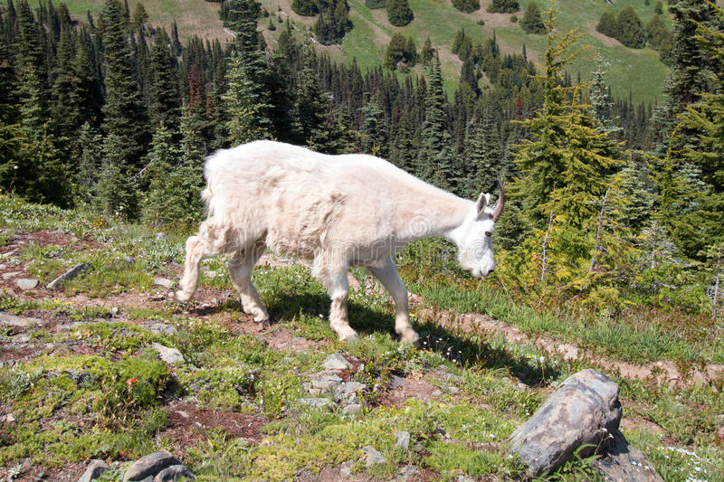 Female Nannny Goat on Hurricane Hill in Olympic National Park in Washington State. USA royalty free stock image