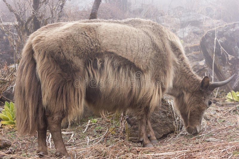 Female Nepalese Yak. Feeding in the mist, just below Khopra in the Nepal Himalayas. Females are known as a Nak to the locals royalty free stock images