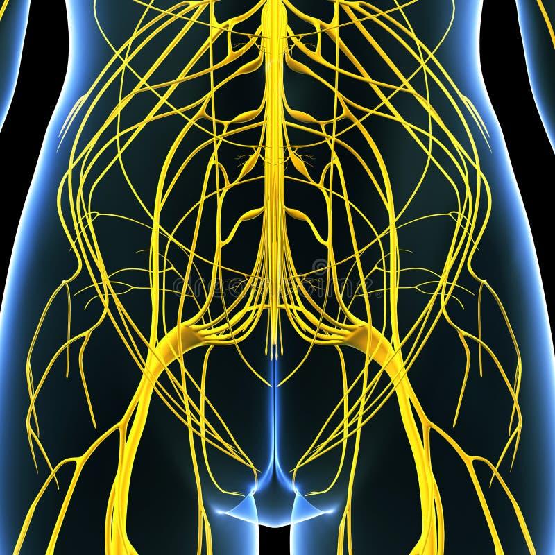 Female nervous system of back royalty free illustration