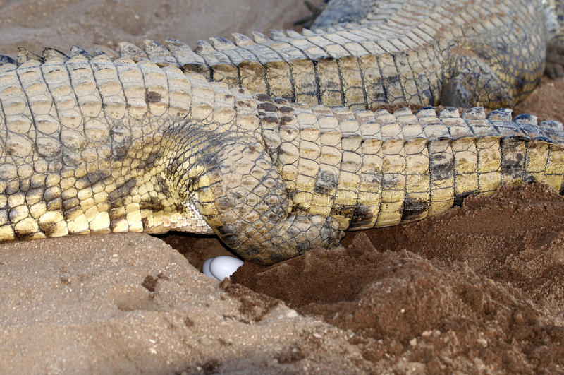 Female Nile Crocodile laying eggs royalty free stock image