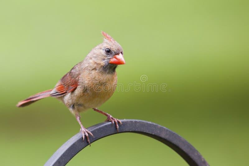 Female Norther Cardinal Stock Photos