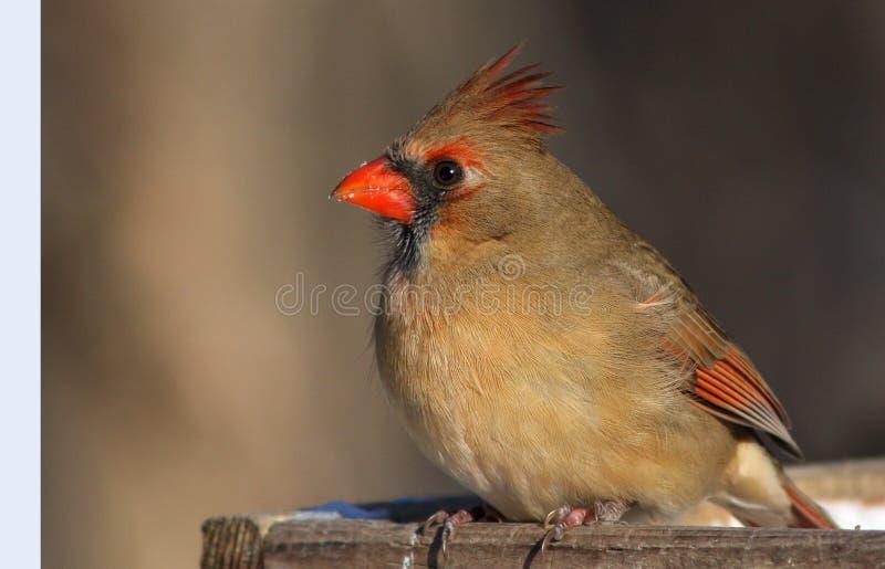 Download Female Northern Cardinal stock photo. Image of tree, animal - 12324292