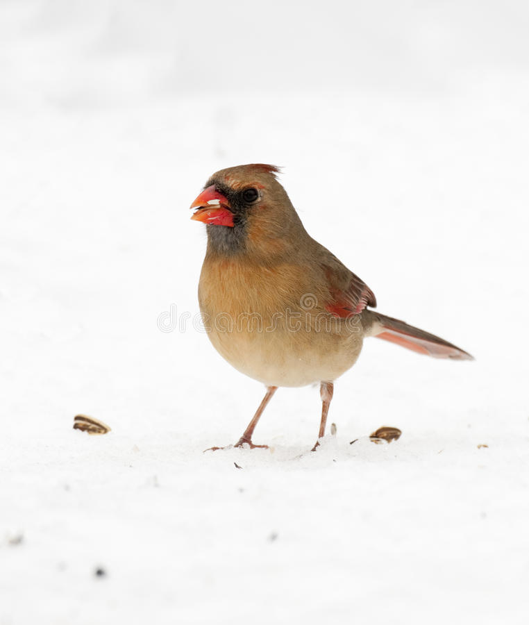 Female Northern Cardinal. On snow eating seed stock images
