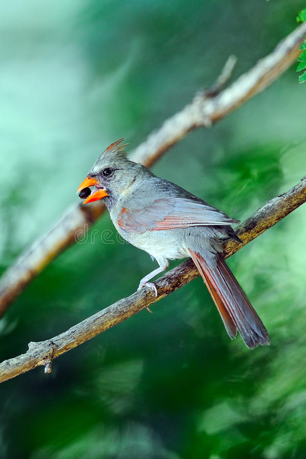 Female Northern Cardinal. Perched On Branch royalty free stock image