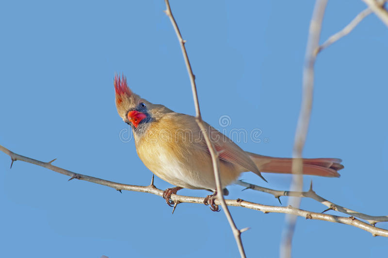 Female northern cardinal. A female northern cardinal perched on an Osage-Orange tree limb royalty free stock image