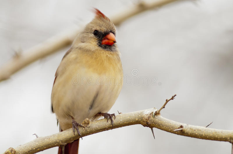 Female northern cardinal. A female northern cardinal perched on an Osage-Orange tree limb royalty free stock photo