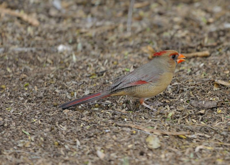Female Northern Cardinal Awaiting Gift royalty free stock images