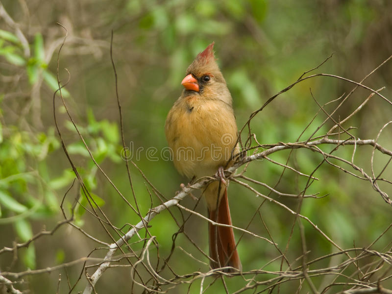 Female Northern Cardinal. A beautiful female Northern Cardinal perches on the edge of a lush summer forest royalty free stock photo