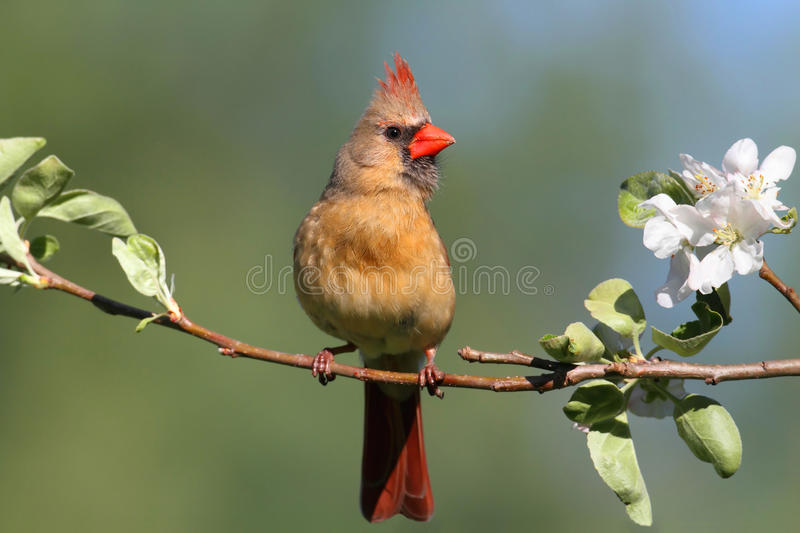 Female Northern Cardinal (cardinalis). In an Apple Tree with blossoms royalty free stock photos
