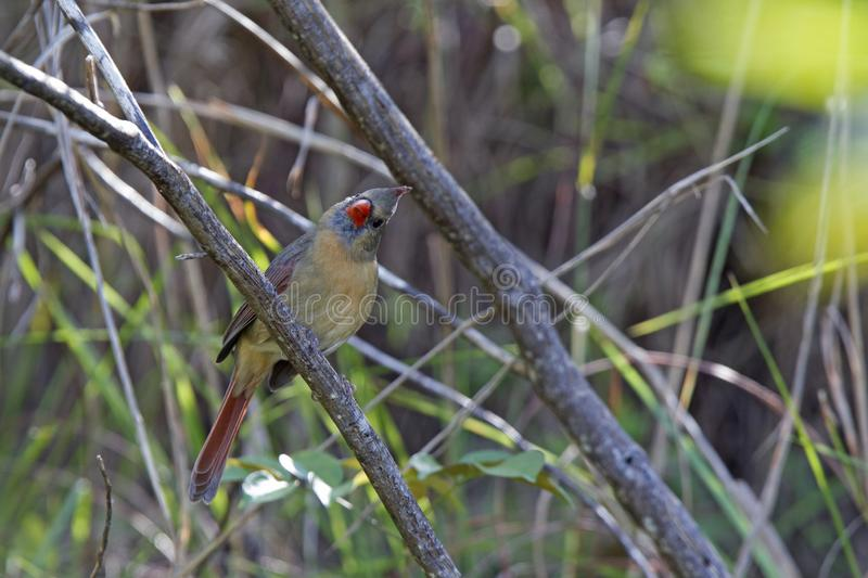 A female northern cardinal Cardinalis cardinalis perched on a branch of a tree foraging for seeds.  royalty free stock image