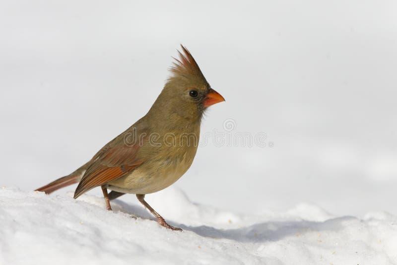 Female Northern Cardinal, Cardinalis cardinalis, in snow. A Female Northern Cardinal, Cardinalis cardinalis, in snow royalty free stock photo