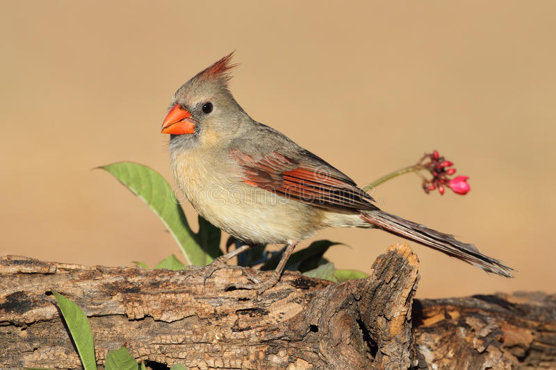 Female Northern Cardinal. (Cardinalis cardinalis) - Texas stock photos