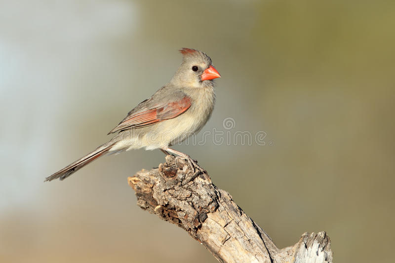 Female Northern Cardinal. (Cardinalis cardinalis) - Texas royalty free stock photo