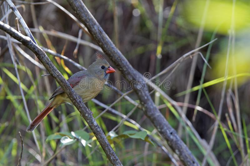 A female northern cardinal Cardinalis cardinalis perched on a branch of a tree foraging for seeds.  stock image