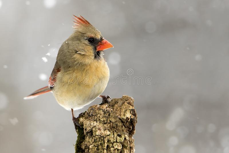 Female Northern Cardinal Cardinalis cardinalis perched in a snow storm. Beautiful photo of a female Northern Cardinal Cardinalis cardinalis standing on a perch royalty free stock photos
