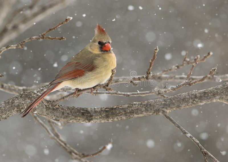 Female Northern Cardinal Cardinalis cardinalis perched in a snow storm. Beautiful photo of a female Northern Cardinal Cardinalis cardinalis standing on a perch stock photo