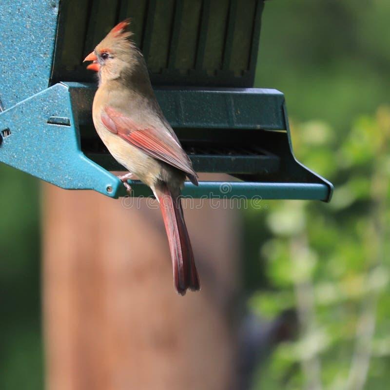 Female northern cardinal Cardinalis cardinalis with red crest. Female northern cardinal Cardinalis cardinalis with red bill and tinges of red on wings, crest stock photo
